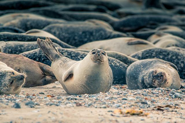 Robbe, Crawl, Group, Ocean, Sea, Nature, Beach, Seal
