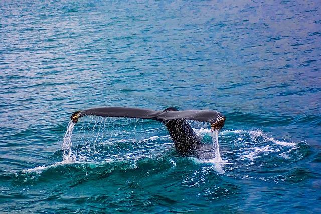 Whale, Breach, Breaching, Sea, Ocean, Water, Wildlife