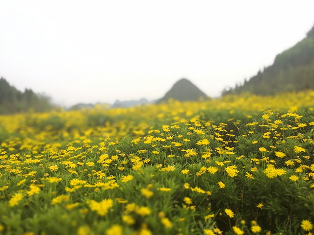 Yellow Daisy, China Guizhou, Sea Of Flowers, Spring