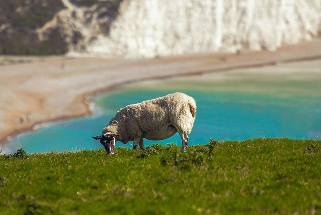Sheep, Panorama, Sea, Seven Sisters