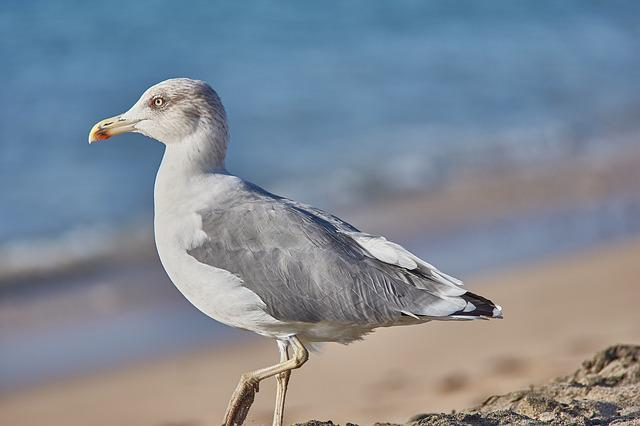 Beach, Seagull, Sand Beach, Sea, Most Beach, Gull