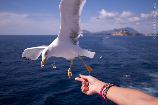 Seagull, Sea, Ischia