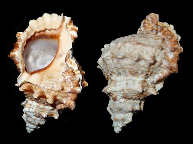 Sea Snail, Snail, Tutufa Bufo