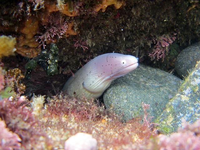 Moray, Eel, Sea-life, Ocean, Sea, Marine, Underwater