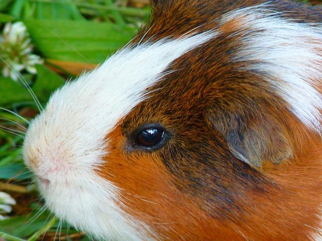 Sea pig House, Cavia Porcellus, Sea pig, Caviidae