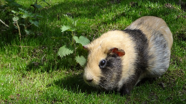 Sea pig, Guinea Pig, Sea pig House, Sweet, Cute