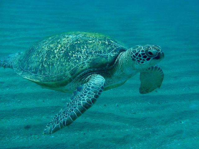Turtle, Sea ​​turtle, Egypt, Marsa Mubarak, Devilfish