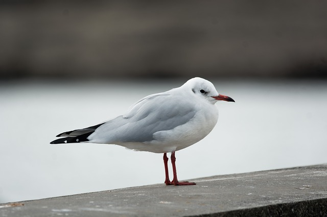 Seagull, Bird, Feathers, Sea, Ocean, Animal, Seabird