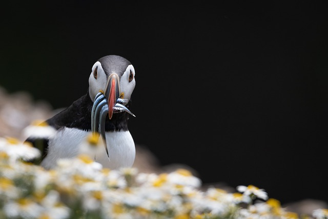 Puffins, Bird, Nature, Wildlife, Seabird, Eels, Feeding