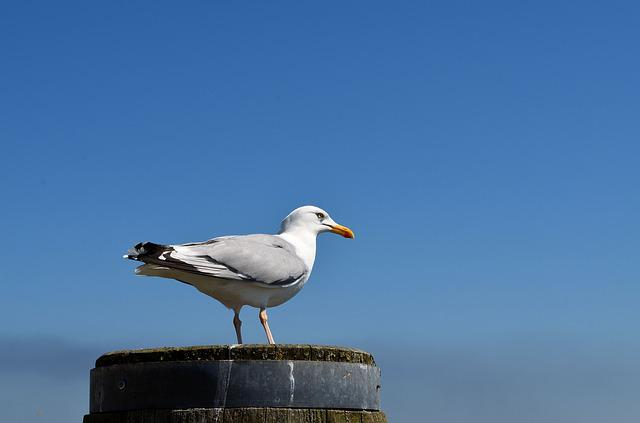 Seagull, Sylt, Animal, Bird, Plumage