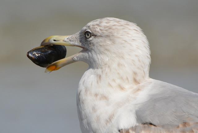 Seagull, Mussel, Animal, Bird