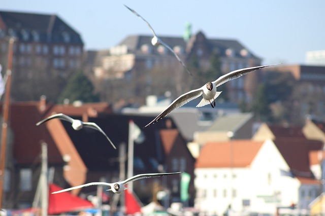 Seagull, Flying, Bird, Sea, Flensburg Harbor