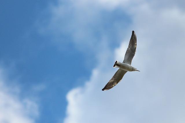 Kittiwake, Tridactyl Seagull, Birds, Seagull, Sky
