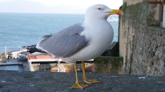 Bird, Seagull, Naples