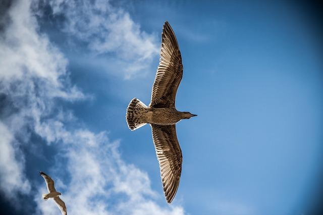 Sea Gull, Bird, Sky, Nature, Gull, Sea, Blue, Seagull