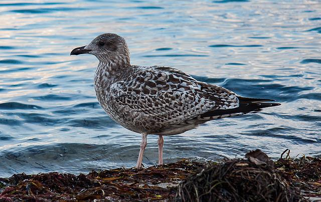 Skua, Seagull, Water Bird, Sea