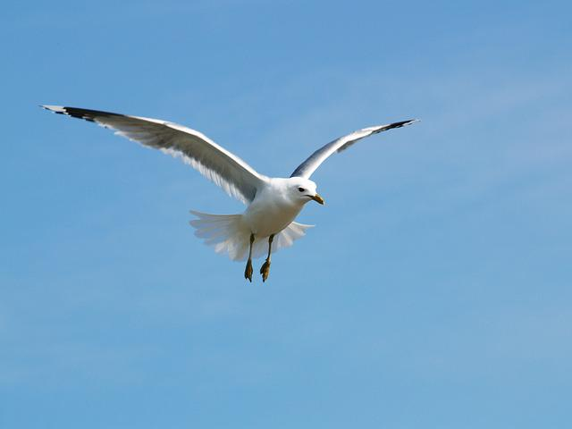 Seagull, Himmel, Tern