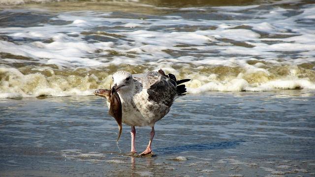 Seagull, Beach, Fish, Seagulls, Food, Hunt, Coast