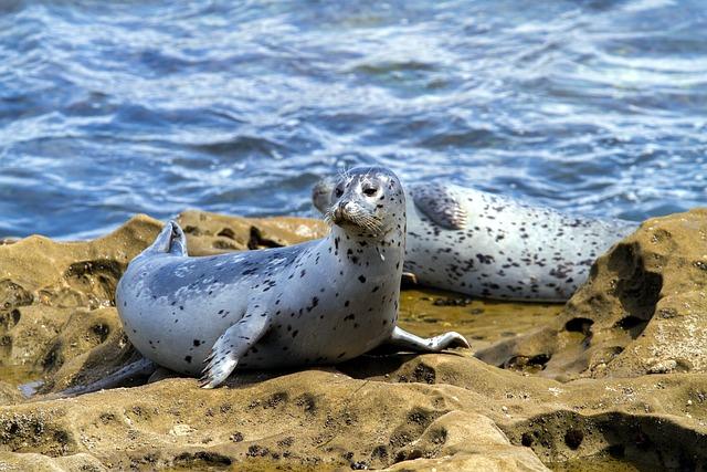 Robbe, Seal, Aquatic Animal