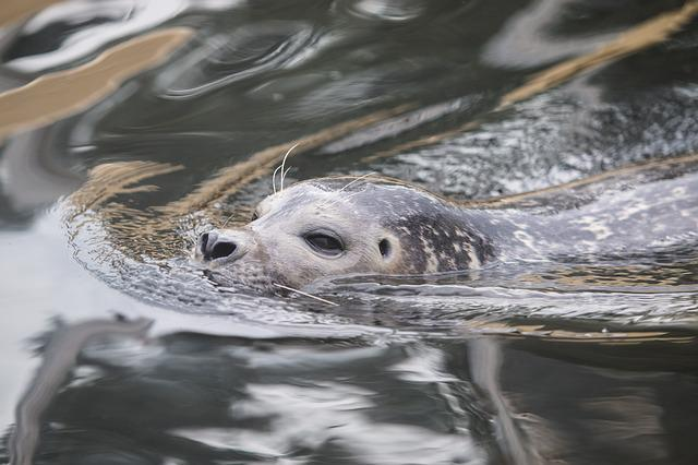 Seal, Robbe, Grey Seal, Meeresbewohner, Animal, Water