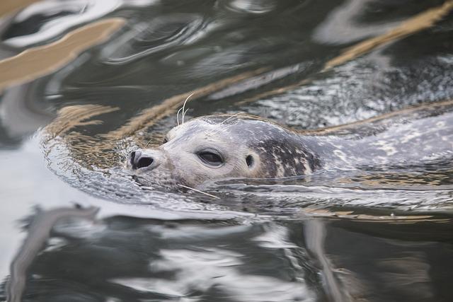 Seal, Robbe, Grey Seal, Meeresbewohner, Animal, Water