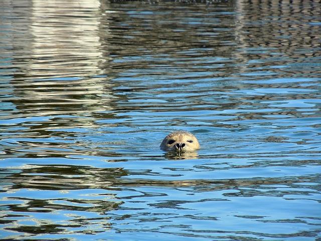 Seal, Robbe, Swim