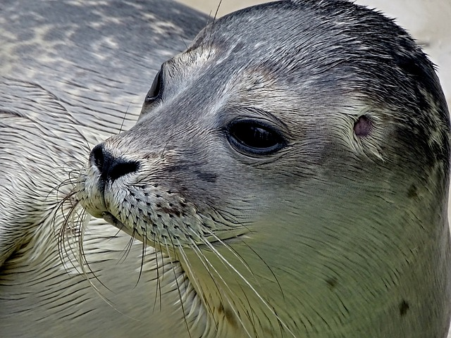 Robbe, Seal, Small, Young, Baby, Howler, Aquatic Animal