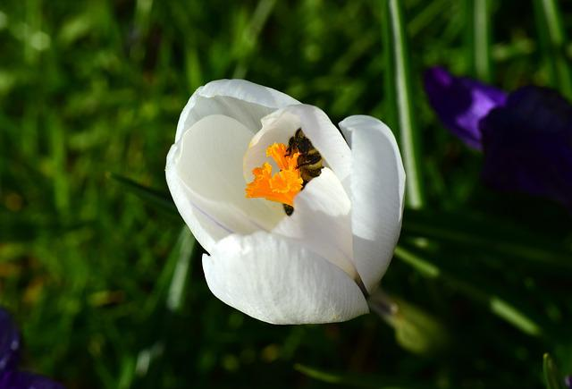 Crocus, Bee, Search, Food, Hunger, Nectar, Blossom