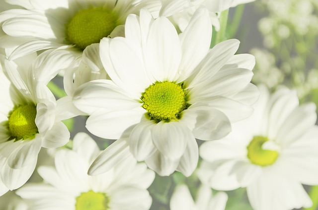 Flowers, Daisies, Plants, Nature, Macro, Season