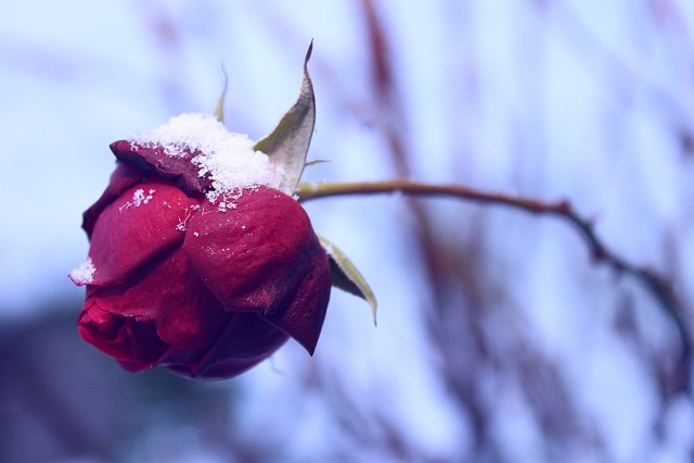 Rose, Winter, Season, Snow, Wilt, Mood, Wintery, Cold