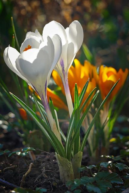 Nature, Flower, Plant, Season, Leaf, Spring, Crocus