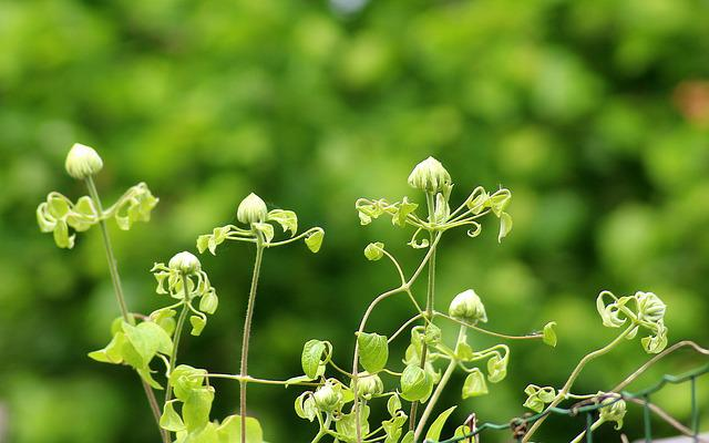 Clematis, Creeper, The Buds, Season, Spring, May