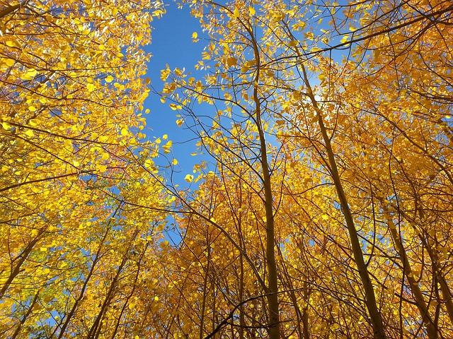 Fall, Aspen, Blue Sky, Yellow, Season, Tree, Autumn