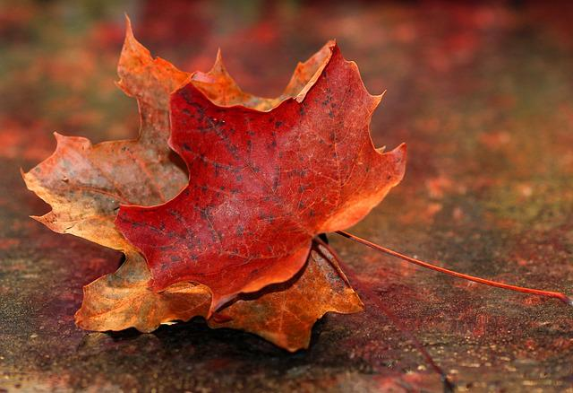 Maple Leaf, Autumn, Red, Nature, Fall, Seasons, Tree
