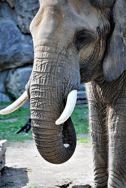 Elephant, Proboscis, Tusks, Pachyderm, Section, Zoo