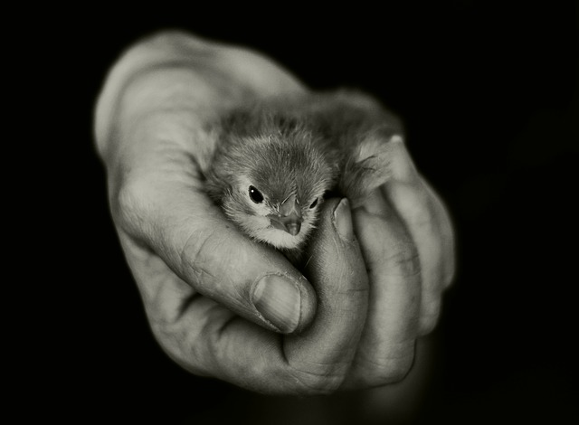 Hand, Chicks, Keep, Security, Hatched, Animal