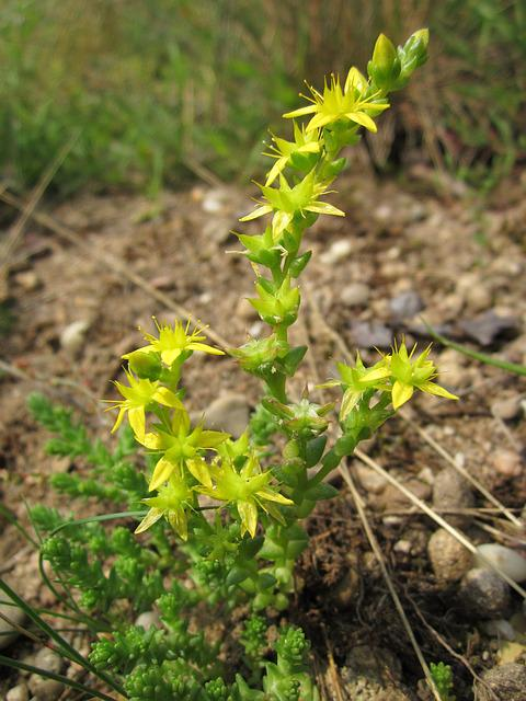 Sedum Acre, Goldmoss Stonecrop, Mossy Stonecrop