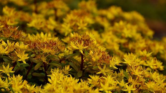 Stonecrop, Sedum, Flower, Yellow, Petals, Blossom