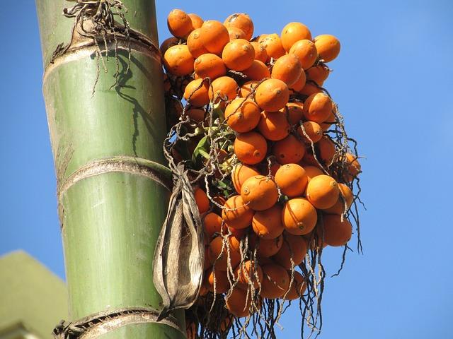 Areca Nut, Palm, Seed, Areca Palm, Areca Catechu