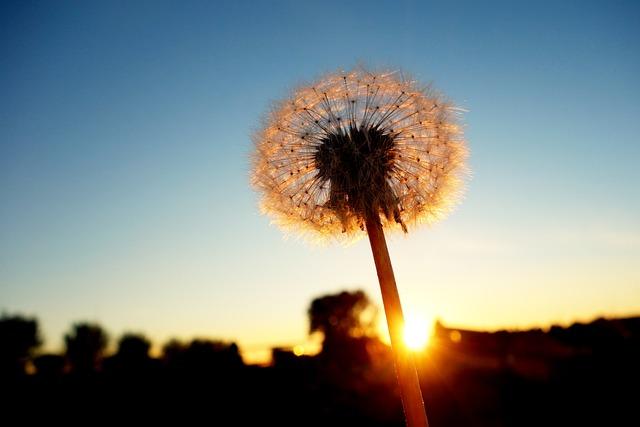 Dandelion, Dandelion Puff-ball, Seed, Ripe, Stem