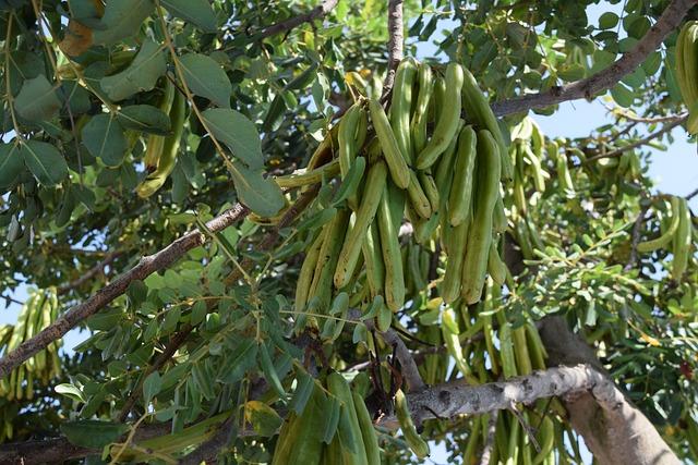 Carob, Beans, Seed, Pod, Fruit, Green, Plant, Tree
