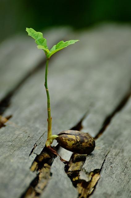 Germ, Seedling, Oak, Developing Germ, Root System