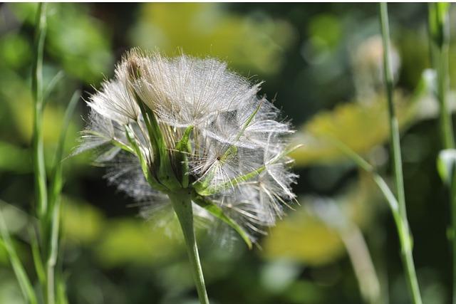 Dandelion, Seeds, Screen, Anemochorie
