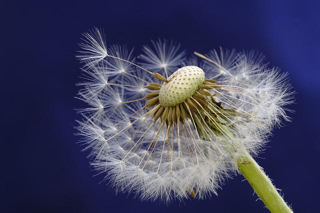 Dandelion, Blossom, Bloom, Bloom, Seeds