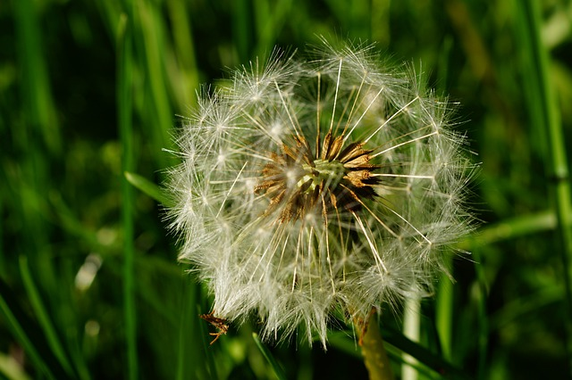 Dandelion, Faded, Seeds, Multiplication, Boll