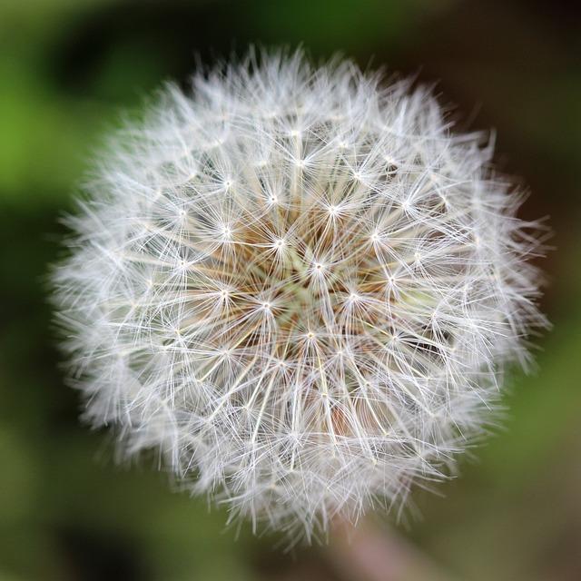 Dandelion, Seeds, Seed Head, Weed, Plant, Meadow