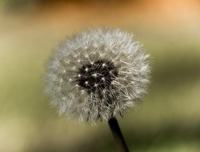 Dandelion, Seeds, Seed Head, Wild, Weed, Delicate