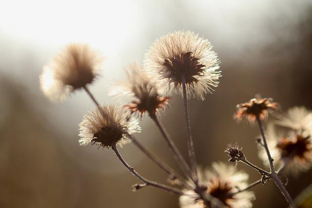 Dried Flowers, Faded, Seeds, Backlighting, Brown