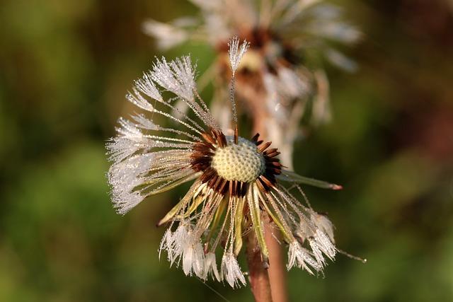 Dandelion, Flying Seeds, Seeds, Flower, Pointed Flower