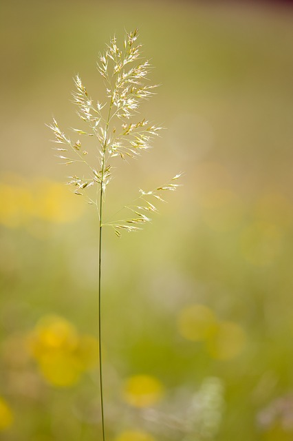 Grass, Grasses, Seeds, Plant, Meadow, Nature, Close
